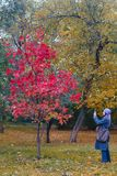La femme prenant des photos sur le bel arbre de téléphone portable avec le rouge part dans le parc en automne photos libres de droits