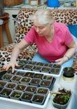 La femme prend soin des jeunes plantes dans la maison Photos stock