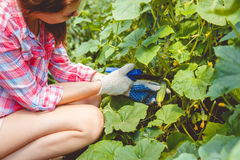 La femme recueille des concombres en serre chaude Photographie stock