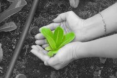 La femme remet tenir et s'inquiéter un jeune arbre vert avec le sol brun photo stock