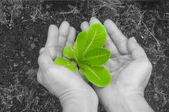 La femme remet tenir et s'inquiéter un jeune arbre vert avec le sol brun images stock