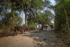 La femme rurale revient avec ses bétail après pâturage à son village Photographie stock libre de droits