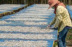 La femme sèche les anchois sous le soleil et se prépare à Photo libre de droits