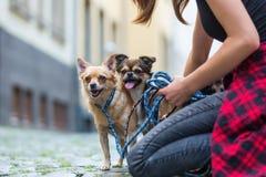 La femme se met à genoux avec un chiwawa et et un chien hybride de chiwawa sur une route Photos libres de droits