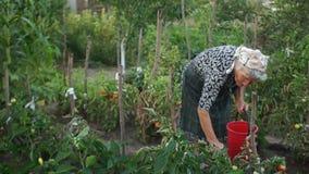 La femme supérieure est sélection de la tomate sur son arrière-cour Moisson La ferme Consommation saine banque de vidéos