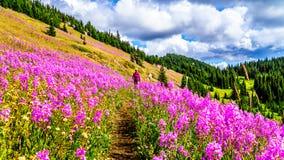 La femme supérieure sur un sentier de randonnée dans les prés alpins couverts dans l'épilobe rose fleurit photo stock