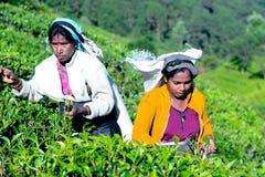 La femme tamoule de Sri Lanka casse des feuilles de thé Photographie stock