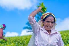 La femme tamoule qui travaille au domaine de Dambetenna casse des feuilles de thé photos stock