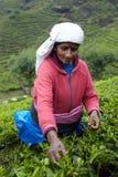 La femme tamoule sélectionne les feuilles de thé fraîches Image stock