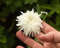 La femme tient à disposition une fleur de marguerite, plan rapproché, blanc images stock