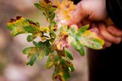 La femme tient une branche avec des feuilles d'automne d'oak_ photos stock