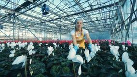 La femme vérifie des fleurs de cyclamen dans des pots, fonctionnant en serre chaude banque de vidéos