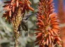 La femmina Amethyst di sunbird si è appollaiata su un aloe Immagine Stock Libera da Diritti