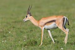 La femmina assegna la camminata della gazzella Fotografia Stock