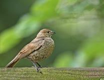 La femmina Brown-ha diretto il Cowbird (ater del molothrus) immagini stock