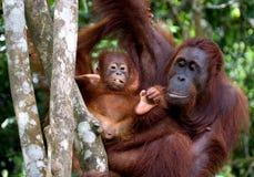 La femmina dell'orangutan con un bambino in un albero l'indonesia L'isola del Kalimantan Borneo Immagine Stock Libera da Diritti