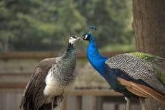 Un bacio dei pavoni Immagini Stock Libere da Diritti