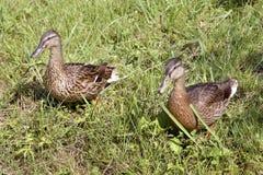 La femmina ducks il germano reale su erba Immagini Stock