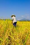 La femmina lavora il riso del raccolto nel campo Fotografia Stock