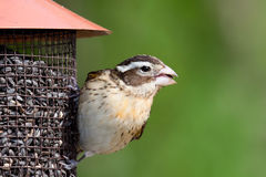 La femmina si è ersa-breasted grosbeak all'alimentatore Fotografia Stock Libera da Diritti