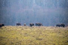 La ferme de bison Image stock