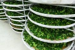 La fermentation du thé images libres de droits