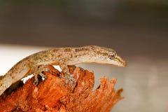 La feuille a botté le gecko avec la pointe du pied, parvimaculatus de Hemidactylus, réserve naturelle de Bhoramdeo, Chhattisgarh photos stock