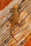 La feuille a botté le gecko avec la pointe du pied, parvimaculatus de Hemidactylus, réserve naturelle de Bhoramdeo, Chhattisgarh image stock