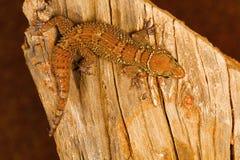 La feuille a botté le gecko avec la pointe du pied, parvimaculatus de Hemidactylus, réserve naturelle de Bhoramdeo, Chhattisgarh images stock