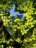 La feuille d'érable a filtré le soleil un jour d'automne Photographie stock libre de droits