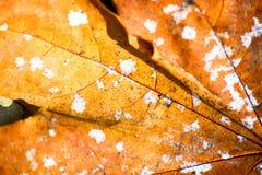 La feuille d'érable jaune de décomposition est macro photos stock