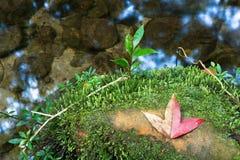 La feuille d'érable sèche Photo libre de droits