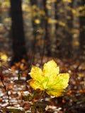La feuille d'automne dans la forêt, Pologne Image libre de droits
