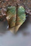 La feuille d'automne dans le magma, l'eau se laisse tomber sur la feuille Images stock