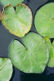 La feuille de Lotus de coeur, coeur en forme de feuille de Lotus Photographie stock libre de droits