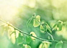 La feuille de ressort illuminée avec le soleil rayonne - la nouvelle vie Photos libres de droits