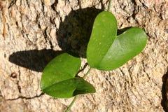 La feuille deux verte en forme de coeur enlacent la roche jaune d'aound photo stock