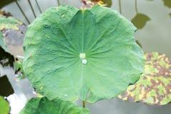 La feuille du lotus sur l'extérieur Image libre de droits