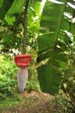 La feuille et la fleur de banane accrochent dans une forêt tropicale Image libre de droits