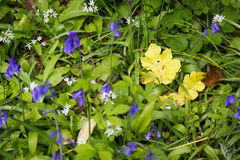 La feuille jaune se tient parmi des jacinthes des bois sur le plancher de forêt Photographie stock libre de droits