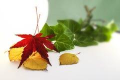 La feuille sèche de l'érable japonais et d'autre part Photos stock