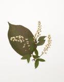 La feuille sèche de la cerise de lilas et d'oiseau fleurit Photographie stock libre de droits