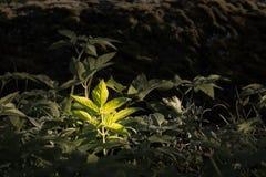 La feuille sauvage d'herbe d'aîné moulu a accentué dans la forêt Photos libres de droits