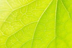 La feuille veine la nature en gros plan de vert de lumière du soleil Images libres de droits