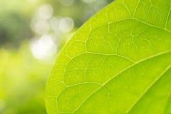 La feuille veine la nature en gros plan de vert de lumière du soleil Photos stock
