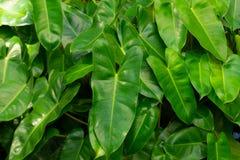 La feuille vert-foncé rayée, voient des modèles clairement image stock