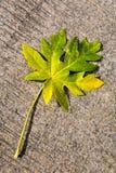 La feuille vert jaunâtre d'une plante tropicale se trouve sur un backgro concret Image libre de droits