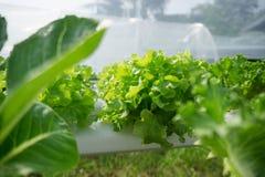La feuille verte avec la baisse de l'eau backgroundGreen la culture de légumes de chêne dans la ferme photographie stock libre de droits