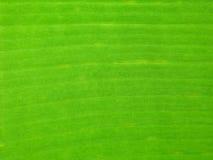 La feuille verte de banane Photos libres de droits