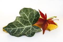 La feuille verte et la feuille sèche de l'érable japonais et d'autre part Photos stock